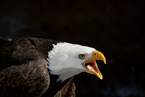 Bald Eagle Portrait 2 Print by Laurie With