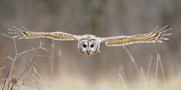 Barred Owl In Flight Print by Scott  Linstead