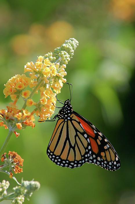 Beautiful Butterfly Print by Karol  Livote