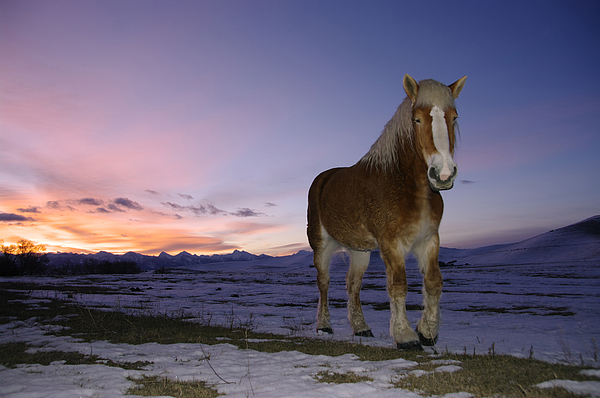Larry Kjorvestad - Belgian Draft Horse Waiting for the Sunrise