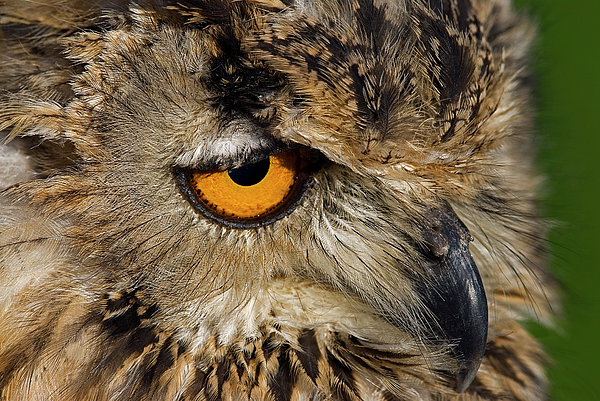 Bengal Eagle Owl Print by JT Lewis