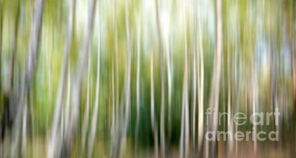 SK Pfphotography - Birch abstract