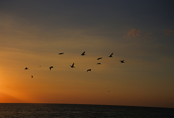 Birds Fly Into The Wind Above The Gulf Print by Stacy Gold