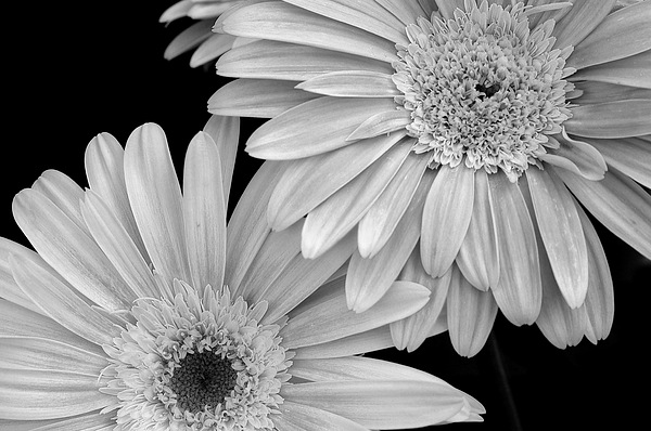 Black And White Gerbera Daisies 1 Print by Amy Fose