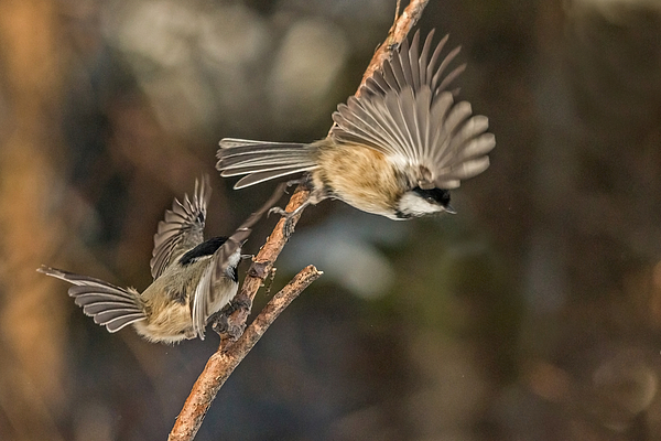 Steve Dunsford - Black Cap Chickadees