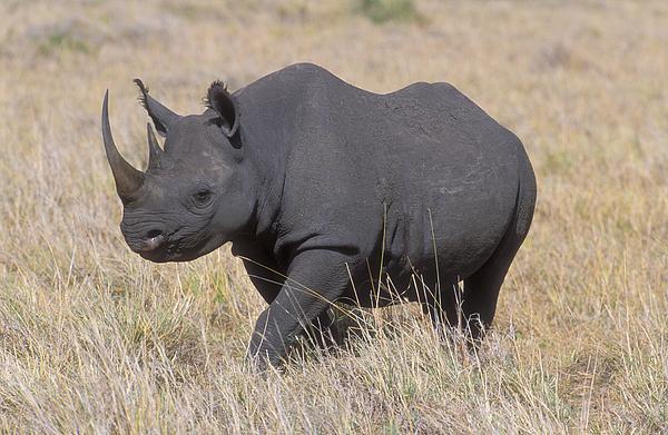 Black Rhino On The Masai Mara Print by Sandra Bronstein
