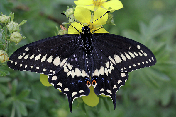 Doris Potter - Black Swallowtail Beauty