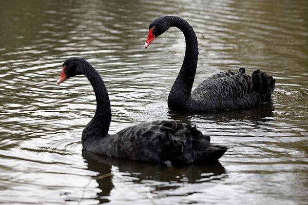 Black Swans Print by Denise Swanson