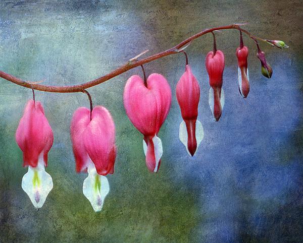 Bleeding Heart 2 Print by Marilyn Hunt