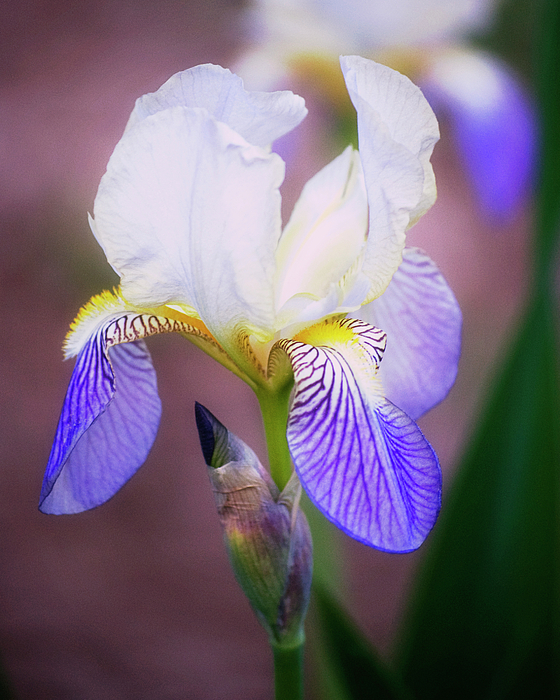 Blooming Iris Print by Shawn Bamberg