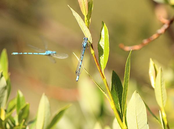 Lorraine Baum - Blue Dragonflies