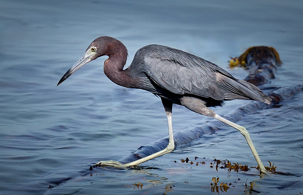Blue heron fishing by kerry hauser for Blue heron fishing