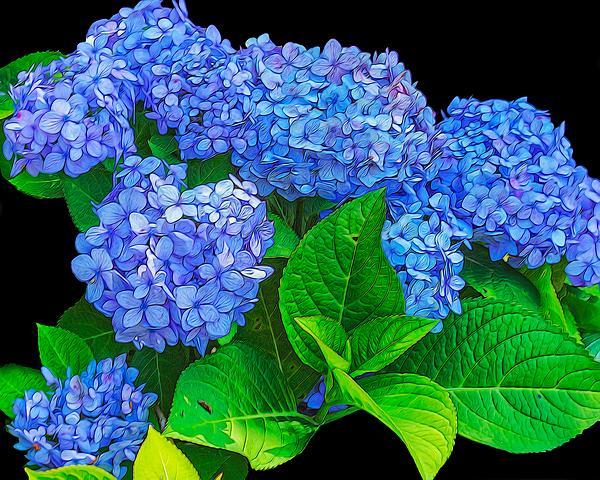 TN Fairey - Blue Hydrangeas - digital art