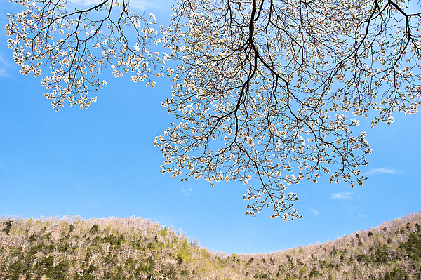 Blue Skies And Dogwood Print by Tamyra Ayles