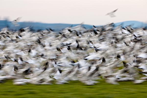 Blurry Birds In A Flurry L467 Print by Yoshiki Nakamura