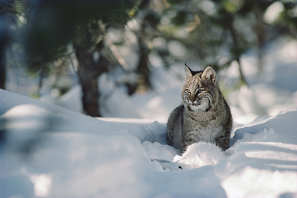 Bobcat Lynx Rufus Adult Resting In Snow Print by Michael Quinton