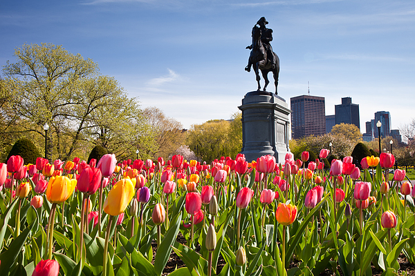 Boston Public Garden Tulips Print by Susan Cole Kelly