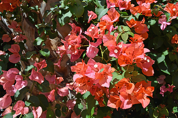 Aimee L Maher Photography and Art - Bougainvillea