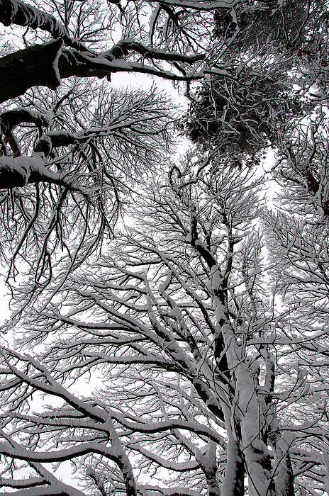 Branches With Snow Print by Mark Denham