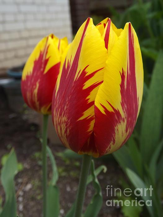 Lingfai Leung - Bright Rembrandt Tulips