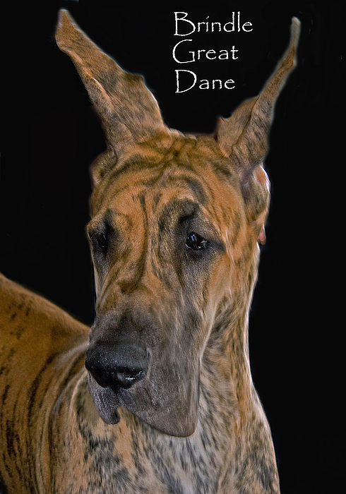 Brindle Great Dane Print by Larry Linton