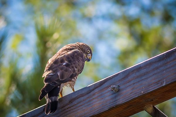Gordon Pusnik - Broad-winged Hawk