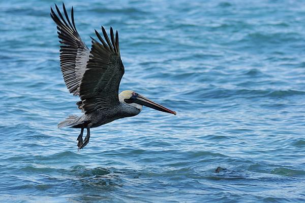 Brown Pelican In Flight Over Water Print by Sami Sarkis
