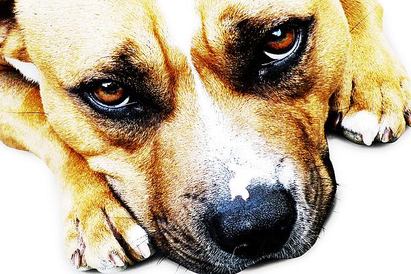 Bull Terrier Eyes Print by Michael Tompsett