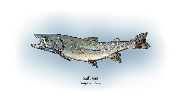 Bull Trout Print by Ralph Martens