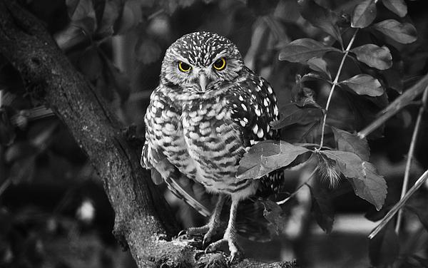 Judy Wanamaker - Burrowing Owl  selective color eyes
