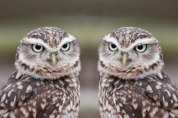 Burrowing Owls Print by Tony Emmett
