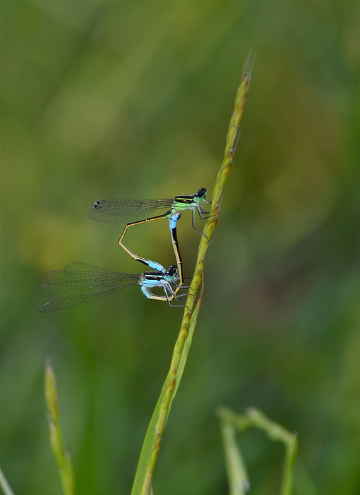 Kathy Gibbons - Busy Damsels