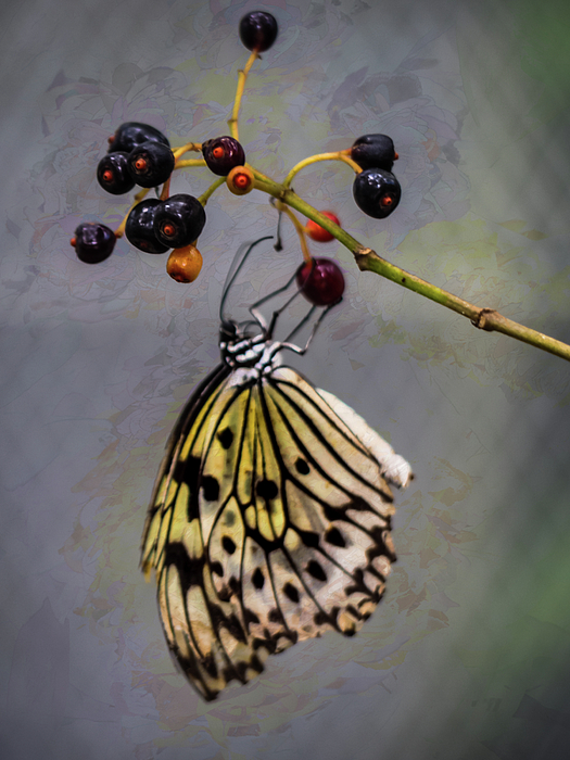 Robin Zygelman - Butterfly and Berries