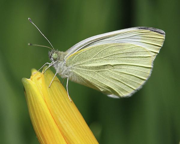 Doris Potter - Butterfly on a day lily bud