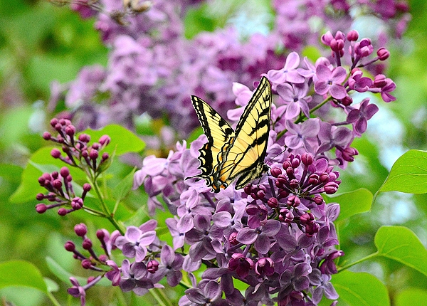 Butterfly On Lilac By Judy Genovese