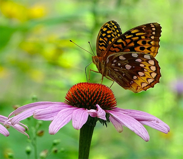 Lilia D - Butterfly on the flower