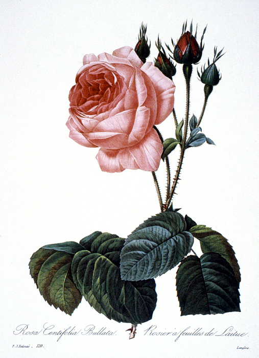 Cabbage Rose Print by Granger