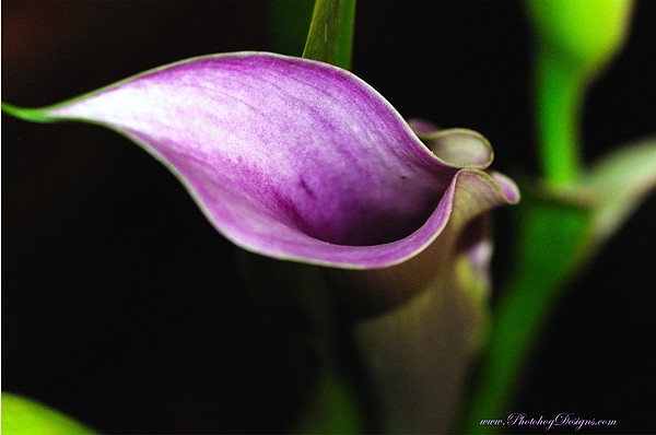 Calla Lily 7421 Print by PhotohogDesigns