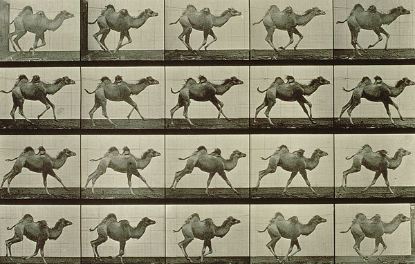 Camel Print by Eadweard Muybridge