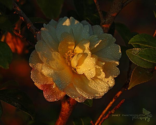 Janet Pancho Gupta - Camellia At Sunset