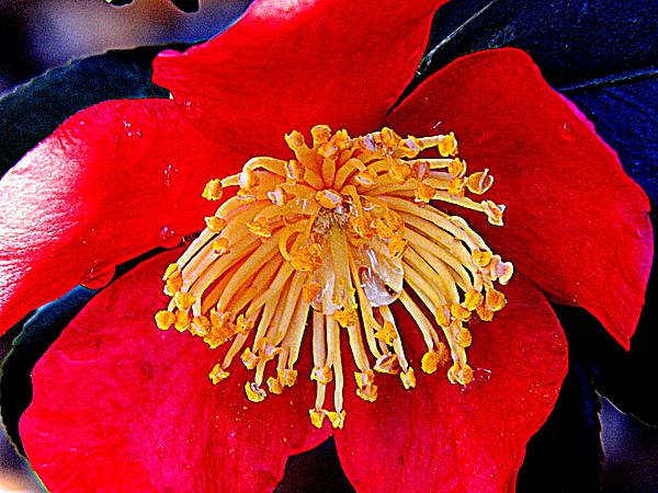 Arlane Crump - Camellia Bloom