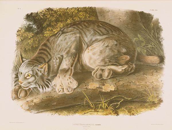Canada Lynx Print by John James Audubon