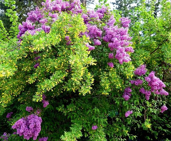 Will Borden - Caragana And Lilacs