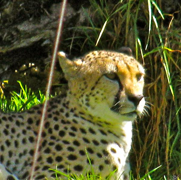Cheetah   Face Print by Debra     Vatalaro