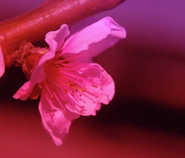 Cherry Blossom Print by Jeff  Swan
