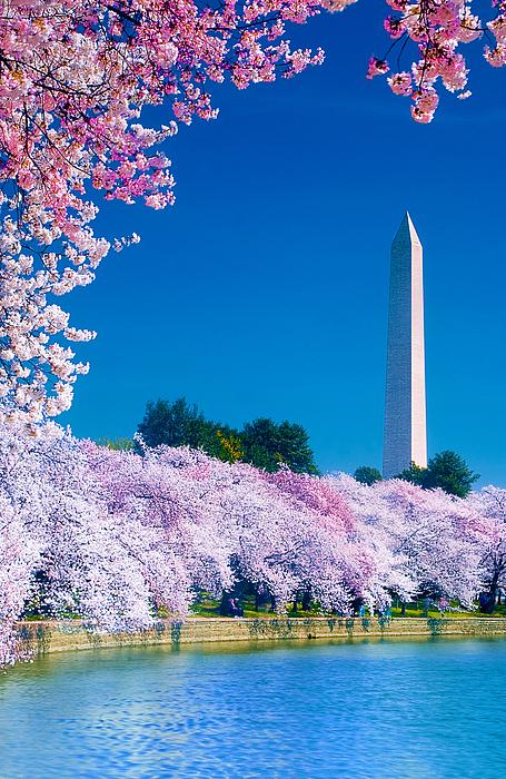 Cherry Blossoms Print by Don Lovett
