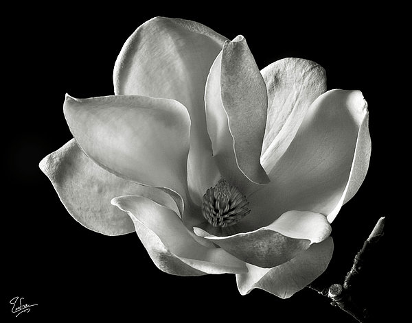 Chinese Magnolia Print by Endre Balogh