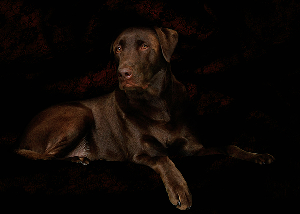 Chocolate Lab Dog Print by Christine Till