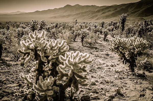 Cholla Cactus Garden At Joshua Tree National Park By Gizella Nyquist