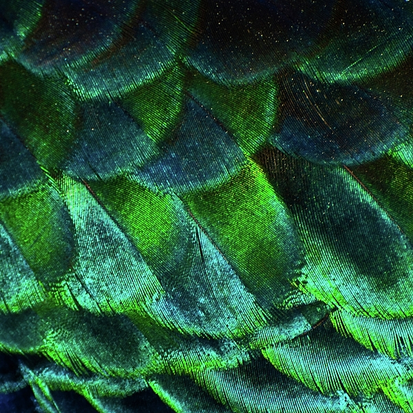 Close Up Of Peacock Feathers Print by MadmàT
